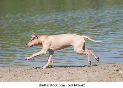 Happy runnning dog on the beach, purebred pitbull terrier