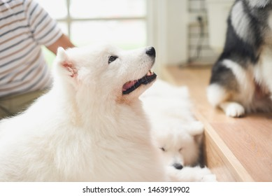 happy samoyed in dog cafe