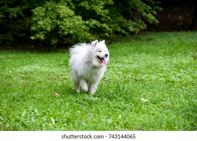 Happy Samoyed Dog on the grass. Open Mouth.