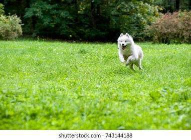 Happy Samoyed Dog Running on the grass. Open Mouth