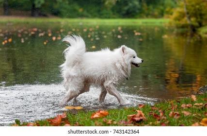 Happy Samoyed Dog Shakes Wet Hair. Water Splash