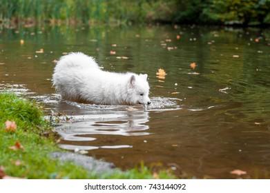 Happy Samoyed Dog Walks in Water. - Shutterstock ID 743144092