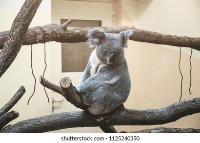 happy satisfied coala relaxing on tree, sitting and looking