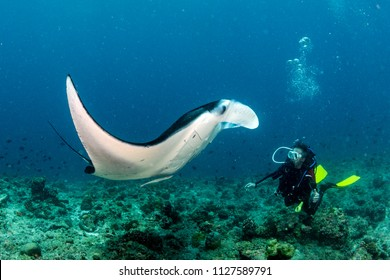 happy scuba diver and Manta in the blue background while diving maldives