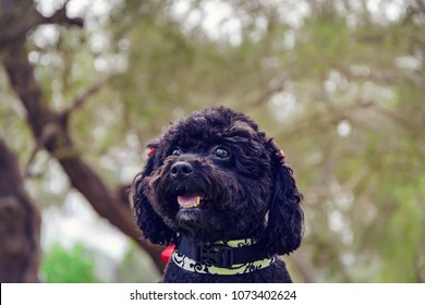 happy seated black poodle