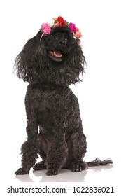 happy seated black poodle wearing flowers headband looks up to side on white background