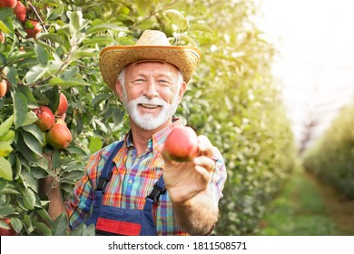 Happy senior farmer proudly showing product his orchard,  organic apple
