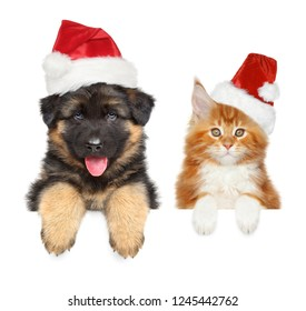 Happy Sheepdog puppy and Maine coon kitten in Santa red hats, above banner, isolated on white background. Christmas animals theme