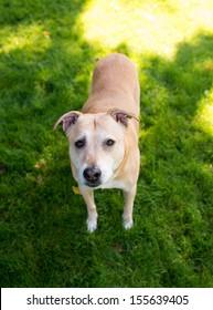 Happy Shepherd Labrador Mix Dog Outside at Dog Park