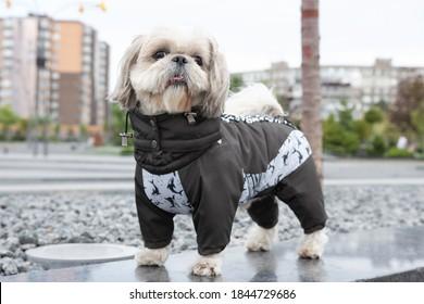 Happy shih tzu wearing a shark costume walks in the park in autumn