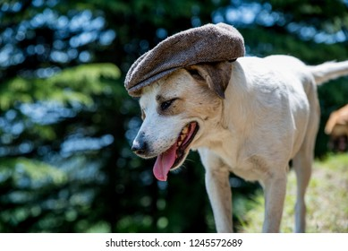 Happy short haired white dog with black nose and tounge hanging out of mouth wearing a grey cap. Blurred green and blue background. Funny amusing animal photo taken in Manali India