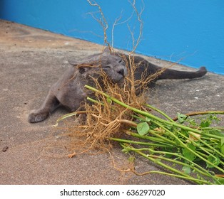 Happy silver blue cat enjoying root of catnip plant on cement floor
