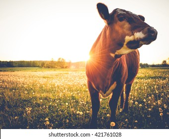 Happy single cow on a meadow during sunset