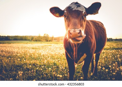 Happy single cow on a meadow during sunset in summer