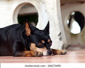 happy sleepy black fat lovely miniature pinscher dog laying flat on ceramics tiles floor on a sunny day in summer
