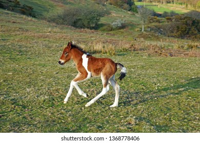 A happy and small chestnut foal cantering across the moor, Bodmin Moor, Cornwall. UK