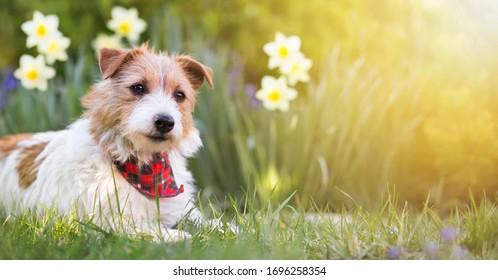 Happy kleine süße Jack Russell Terry Hund Welpe lächeln im Gras mit Blumen. Sommer, Frühling, Osterkonzept, Webbanner.