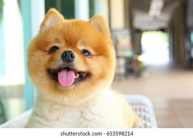 happy smile pomeranian small dog cute pet friendly, animal grooming short hair style