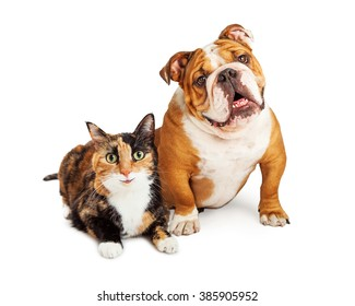 Happy and smiling calico cat and Bulldog breed dog sitting together over white