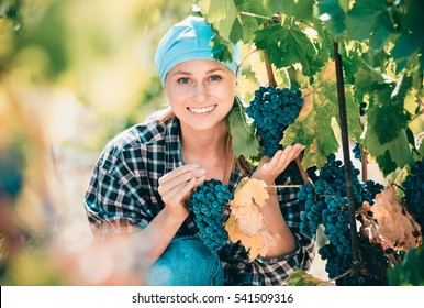 Happy smiling cheerful vineyard female staff cutting clusters of wine grape