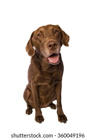 Happy smiling Chesapeake Bay Retriever Dog sitting on white background