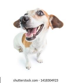 Feliz retrato de perro sonriente. Fondo blanco.  Testador de Jack Russell