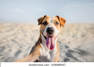 Happy smiling dog taking self portrait on the beach. Portrait of a cute staffordshire terrier imitating a selfie shot by the sea in the summer