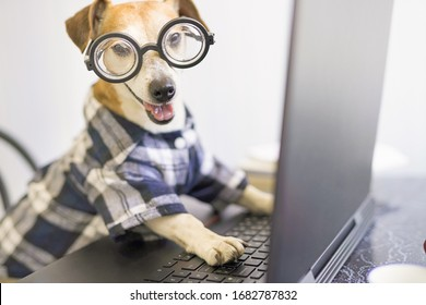 Happy smiling dog is working on project online. Using computer laptop. Pet wearing glasses and blue shirt. Freelancer work from home during quarantine Social distancing lifestyle.