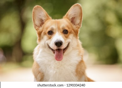 happy smiling face of pembroke whelsh corgi dog outdoor in summer