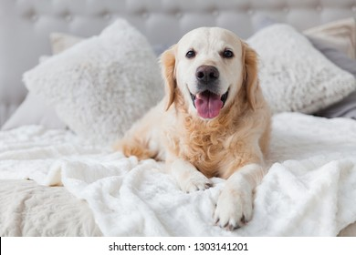 Happy smiling golden retriever puppy dog in luxurious bright colors classic eclectic style bedroom with king-size bed and bedside table. Pets friendly  hotel or home room. Copy space, place for text.