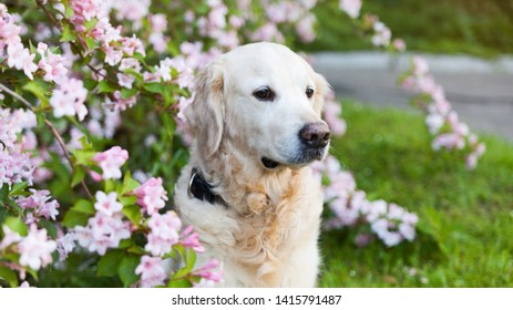 Happy smiling golden retriever puppy dog  in the purple lupine flowers meadow in sunny summer morning. Pets care and happiness concept. Copy space background.