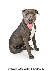 Happy smiling grey color Pit Bull dog sitting looking forward into camera with mouth open and tongue out