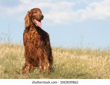 Happy smiling Irish Setter dog standing in the grass in summer
