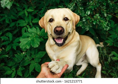 Happy smiling labrador with tongue out and human hand holding the paw and doing a handshake