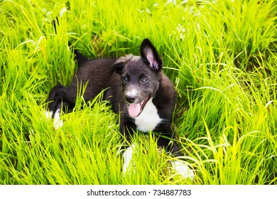 Happy smiling puppy sitting on a green grass in a city park. Happy Border Collie Puppy Sitting on green grass.