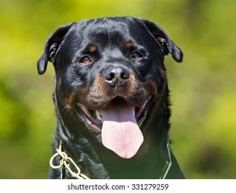 Happy and smiling Rottweiler dog outdoors in the nature on a sunny summer day with the dog tongue sticking out.