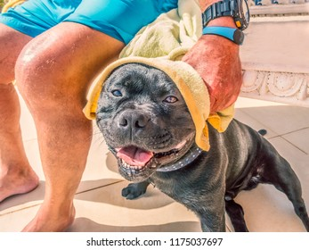 Happy, smiling wet Staffordshire bull terrier dog having his head towel dried by a man in trunks after swimming
