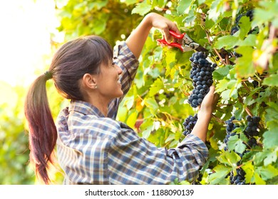 Happy smiling young woman picking bunches of grapes in a winery vineyard during harvesting in autumn crouching down to snip off the bunch