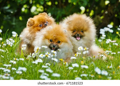 Happy spitz family sitting in green grass amongst chamomiles
