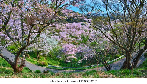 A Happy Spring View in Mt. Ryuou in the City of Sanyo-Onoda, Japan; the Mountain with a Low Altitude Boasts About 10,000 Cherry-blossom Trees, a 360-degree View and Many Others.