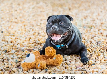 happy staffordshire bull terrier dog with a soft toy teddy bear lying down outside on pebble stones with his mouth open in a smile