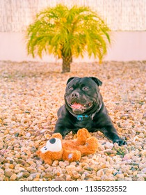 happy staffordshire bull terrier dog with a soft toy teddy bear lying down outside on pebble stones with his mouth open in a smile. There is a small palm tree behind him.