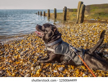 Happy Staffordshire bull terrier dog wearing a harness jacket lying on a beach with pebbles at the water front along side a wooded water breaker groyne. It is a sunny winter day