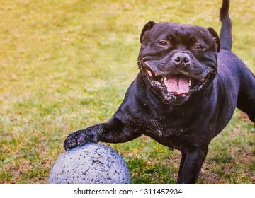 Happy Staffordshire Bull Terrier dog standing with his paw resting on a large ball ball with puncher marks from playing. He is muddy, smiling and looks very friendly and full of fun.