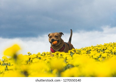Happy staffordshire bull terrier playing fetch in the flowerfield at springtime.