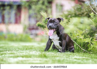 Happy Staffordshire bull terrier puppy outdoors