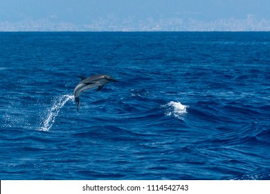 happy striped dolphin jumping outside the sea at sunset