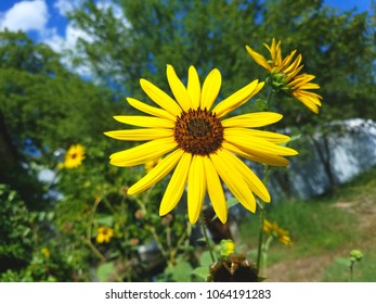 A happy sunflower.