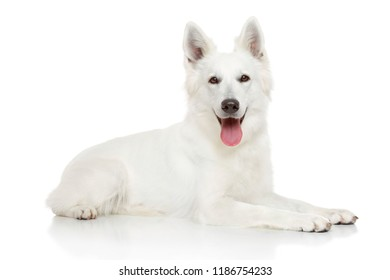 Happy Swiss Shepherd dog on white background. Animal themes