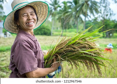 happy Thai female farmer harvesting rice in farm with workers working in background